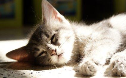 Болезни кошек: Рвота