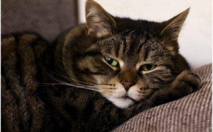 Болезни печени у кошек: