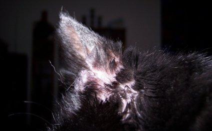 Болезни ушей у кошек: симптомы