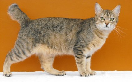 большие породы домашних кошек
