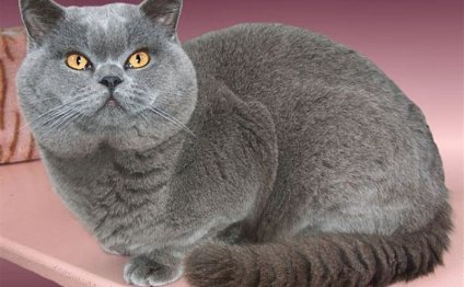 Британские кошки обычно