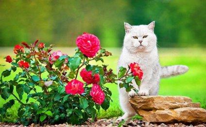Британские коты (фото):