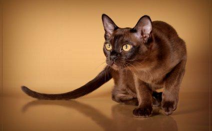 Бурма порода кошек, бурма