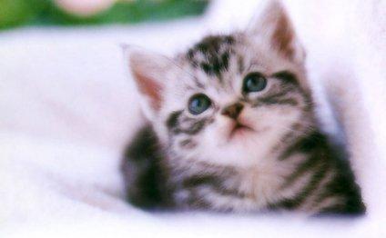 Котята из питомник меконгских