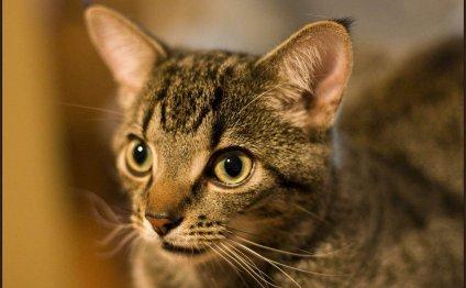 Egyptian Mau cat, Такая порода