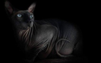 Фото кошек породы сфинкс: