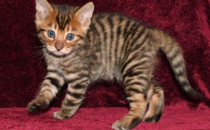 Фотографии кошек породы тойгер