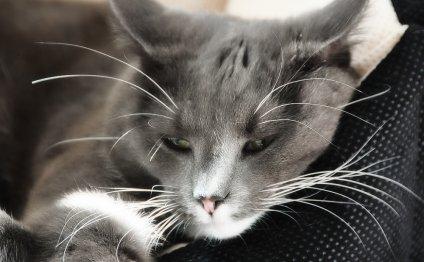 Гемобартонеллез кошек: