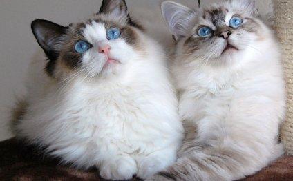 Какая порода кошек самая