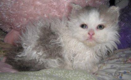 Котенок породы лэмкин