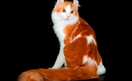 Порода кошек Американский