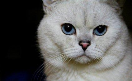 Ласковые Британские котята с