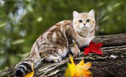 Кошки породы манчкин (фото):