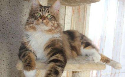 Кот Адам породы мей-кун от