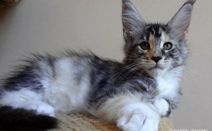 Коты породы мейн кун, цена