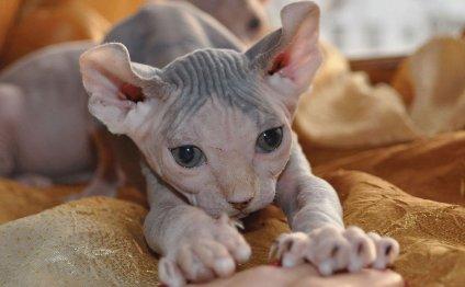 Лысые кошки - котенок породы