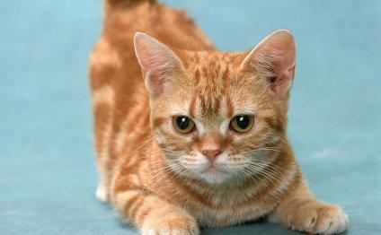 Манчкин - порода кошек с