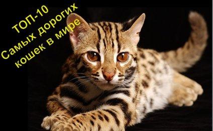ТОП 10 Самые дорогие кошки