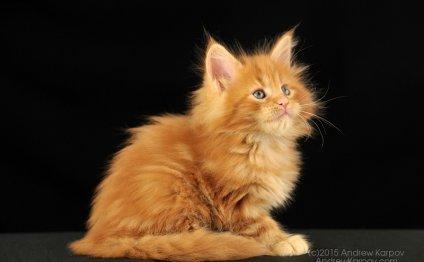 Мейн-кун фото. Породистый кот