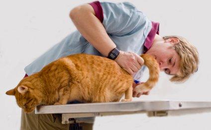 Цистит у кошек: симптомы и