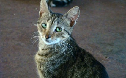 Мочекаменная болезнь у кошек и