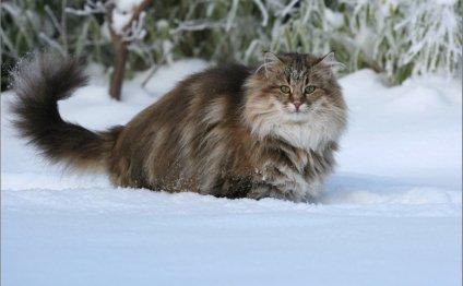 Когда норвежская лесная кошка
