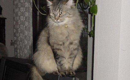 О породе кошек Сибирская