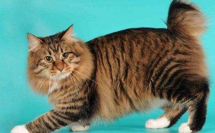 Порода кошек без хвоста1