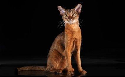 Абиссинская кошка - ласковая