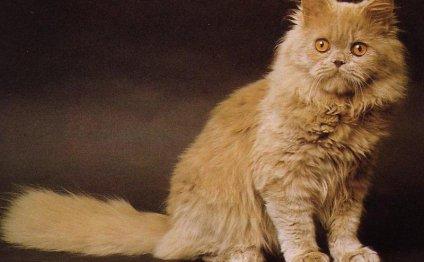 Породы кошек по алфавиту