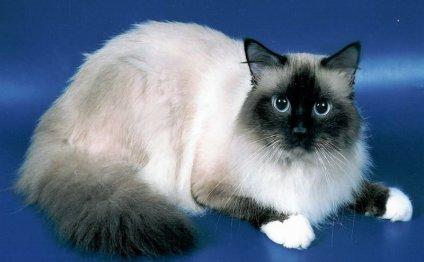 породы кошек с фотографиями: