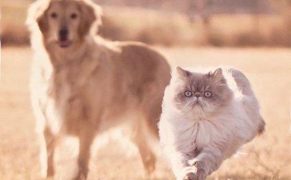 Породы кошек с приплюснутой
