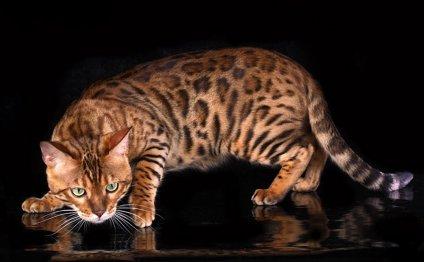 Порода кошек Йорк