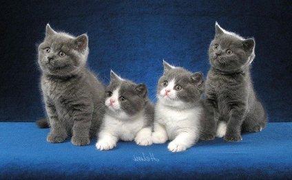Самые дорогие кошки в