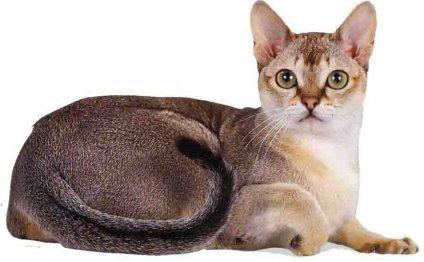 Кошки породы Сингапура