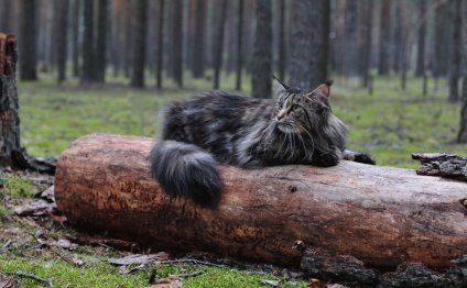 Кот-породы-Мейн-кун