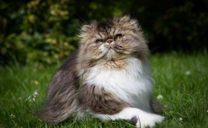 Кошки самых красивых пород (11
