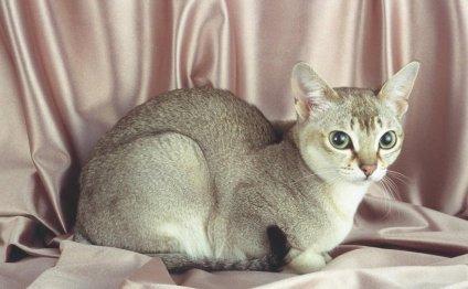 Сингапурские кошки