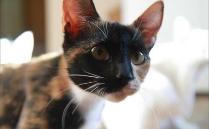 Третье веко у кошки: причины и