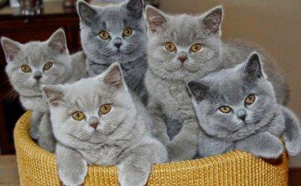 Уход за британцами котятами