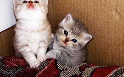 вислоухие коты