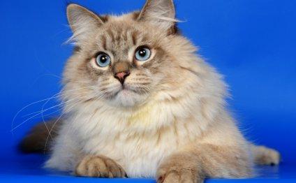 внешний вид кошек породы