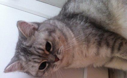 Вязка британских котов (по